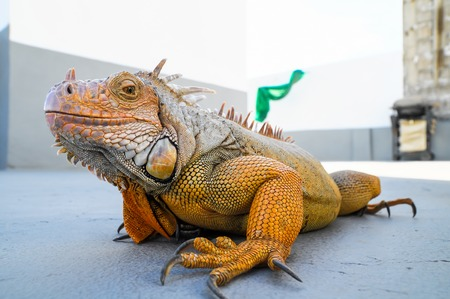 Colored Young Male Iguana Lizard on a Gray Surface