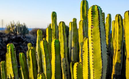 Succulent Plant Cactus on the Dry Desert at Sunset Banco de Imagens