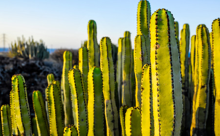 Succulent Plant Cactus on the Dry Desert at Sunset Stockfoto