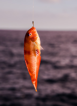 One Sea Fish Hooked over the Blue Atlantic Ocean