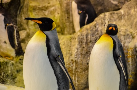 king penguins: Black and White Colored Penguin in a Cold Place