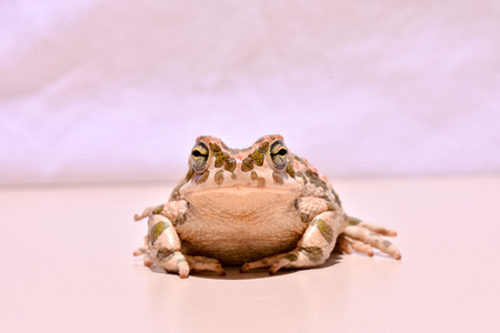bufo toad: Photo Picture of a Bufo Common European Toad
