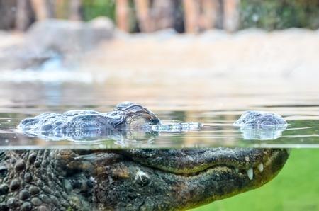 Big Brown and Yellow Amphibian Prehistoric Crocodile Stock Photo