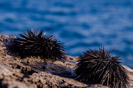 Sea Urchin on Rock Near Ocean Background Stockfoto