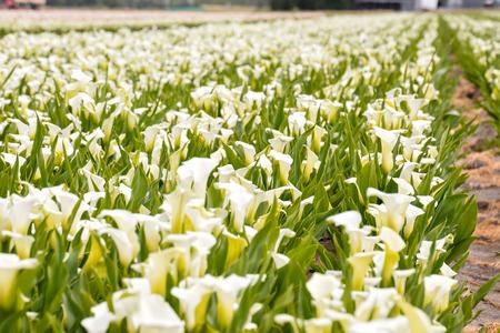 Foto foto van Calla bloem gekleurde tuin veld teelt