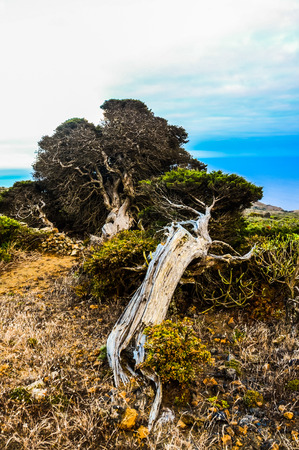 Gnarled Juniper Tree Shaped By The Wind at El Sabinar, Island of El Hierro Stock Photo