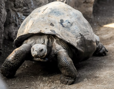 gigantea: Very Big Galapagos Turtle on the Floor