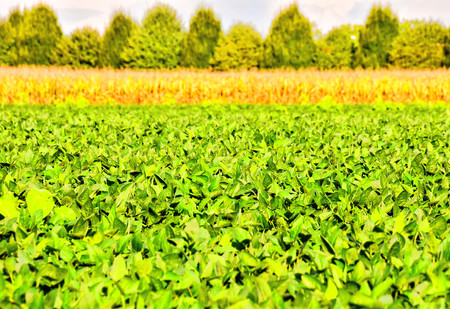 Photo Picture of a Soy Bean Plant Field
