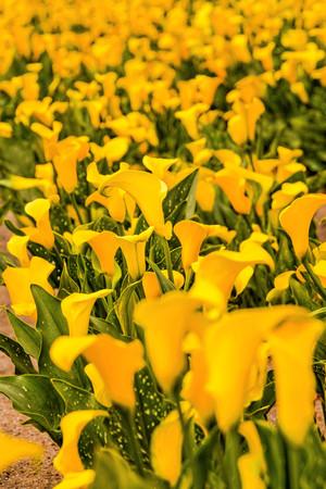 Foto foto van Calla bloem gekleurde tuin veldteelt