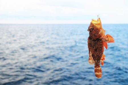One Red Rock Sea Fish Hooked over the Blue Atlantic Ocean