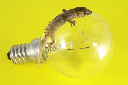 One Small Gecko Lizard and Light Bulb on a Colred Background Stock Photo