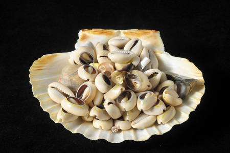 Textured Limestone Sea Shells on a Black Background