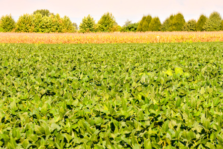 Photo Picture of a Soy Bean Plant Field  Reklamní fotografie