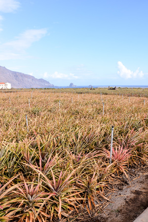 Pineapple Field Young pineapples in El Hierro Canary islands