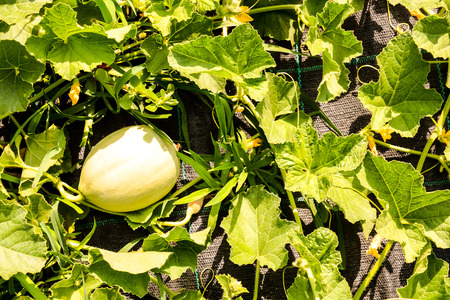 Photo picture of Melon plant in a vegetable garden