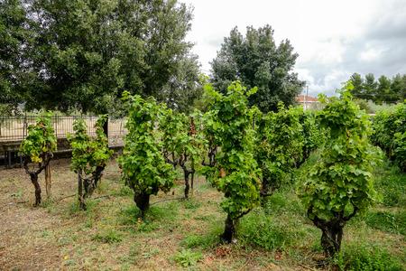 Vineyards in La Geria Lanzarote canary islands Spain
