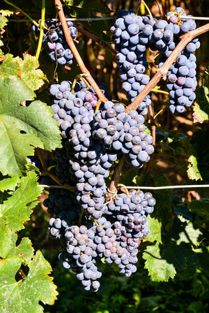 Photo Picture of a Beautiful Grape Fruit Vineyard Ready to Produce Wine