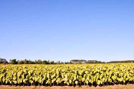 Photo Picture of a Big Beautiful Tobacco Field Stock Photo