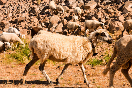 Photo picture flock of sheep in central spain