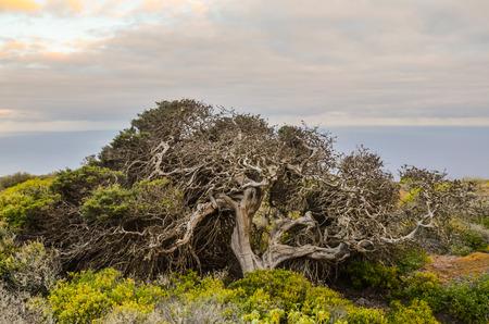 Gnarled Juniper Tree Shaped By The Wind at El Sabinar, Island of El Hierro 写真素材