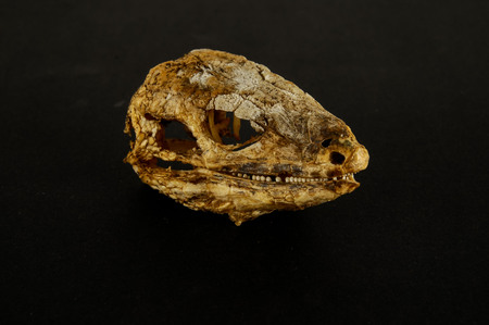Photo picture of a Canarian Dry Lizard Skull Bone