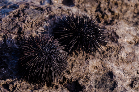 Sea Urchin on Rock Near Ocean Background Stock Photo