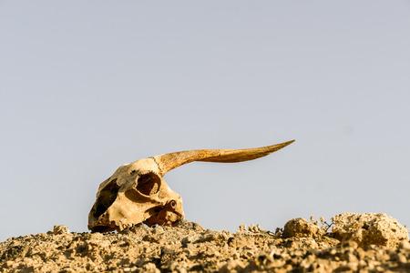 Photo Picture of the Dry Goat Skull Bone Archivio Fotografico