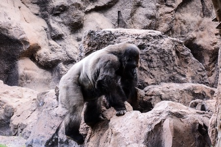 Photo Picture of a Big Mammal Gray Adult Strong Gorilla