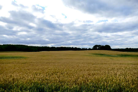 landscape with wheat field and blue sky, beautiful photo digital picture