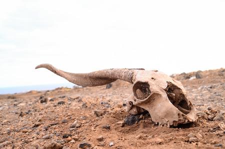 Dry Goat Skull on the Rock Desert Canary Islands Spain Stock Photo