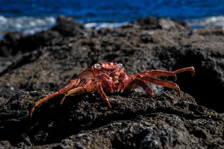 Orange Crab on Volcanic Rocks near the Atlantic Ocean Stockfoto