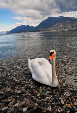 swan on lake, beautiful photo digital picture Standard-Bild