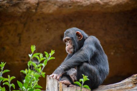 Wild Black Chimpanzee Mammal Ape Monkey Animal Stock Photo