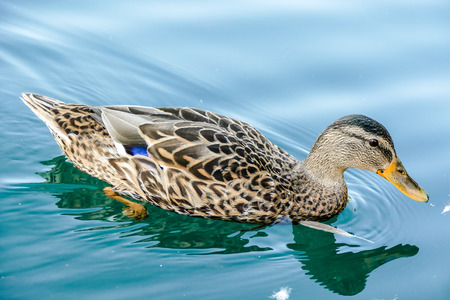duck in water, beautiful photo digital picture