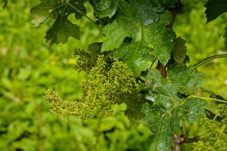 Photo picture of acinus unripe grape fresh green bunches Stock Photo