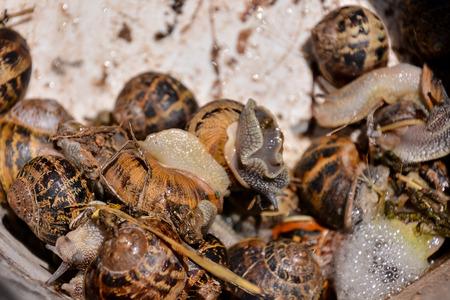 Photo picture of brown animal Edible snail escargot 스톡 콘텐츠
