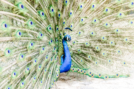 peacock with feathers out, beautiful photo digital picture Zdjęcie Seryjne