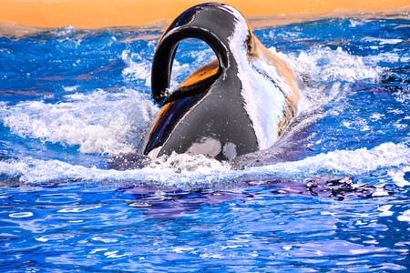 Photo Picture of a Mammal Orca Killer Whale Fish 免版税图像