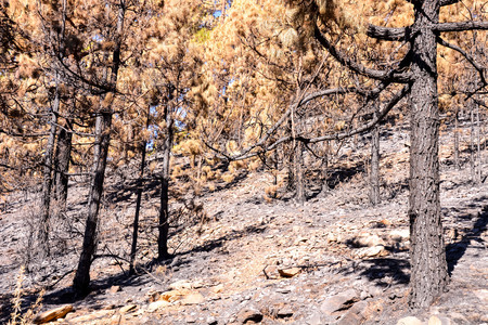 Effects of the Fire in a Forest, in Canary Islands, Spain Stock Photo - 118474408
