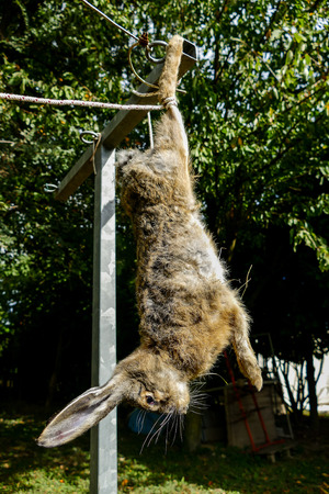 The slaughter of the animal hare Animal slaughter The death of the hare rabbit Stock Photo