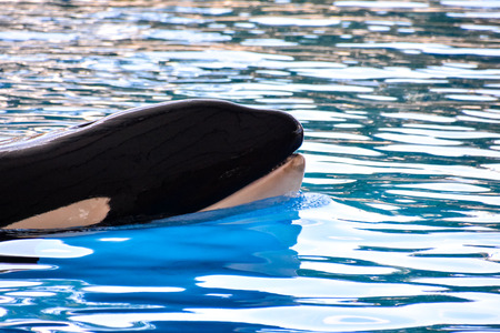 Photo Picture of a Mammal Orca Killer Whale Fish Standard-Bild