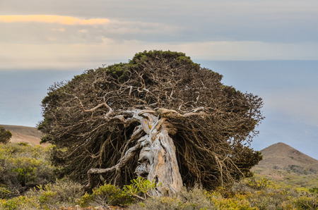 Gnarled Juniper Tree Shaped By The Wind at El Sabinar, Island of El Hierro Stockfoto
