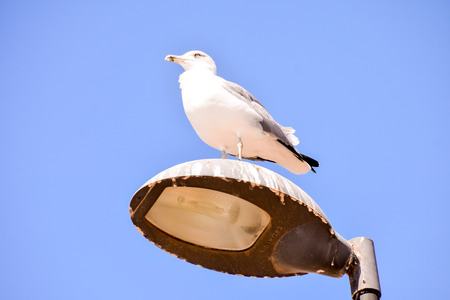 Spanish Seagull on a lamp post in Fuerteventura Canary Islands Spain