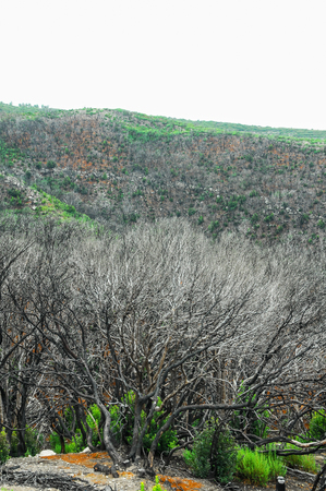 Effects of the Fire in a Forest, in Canary Islands, Spain