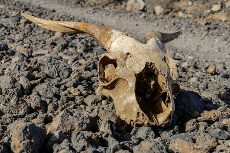 Photo Picture of the Dry Goat Skull Bone Foto de archivo