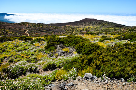 High Clouds over Pine Cone Trees Forest in Tenerife Island 版權商用圖片