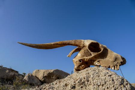 Photo Picture of the Dry Goat Skull Bone Reklamní fotografie