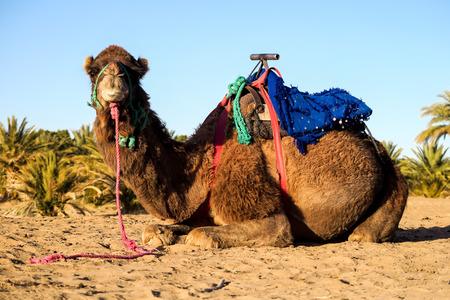 chameau dans le désert, belle photo numérique