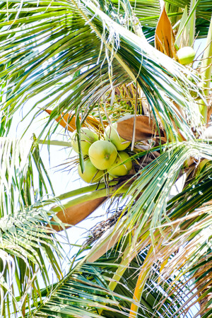 coconuts on palm tree, beautiful photo digital picture
