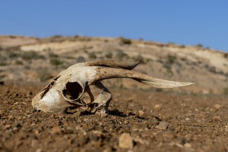 Photo Picture of the Dry Goat Skull Bone Stockfoto